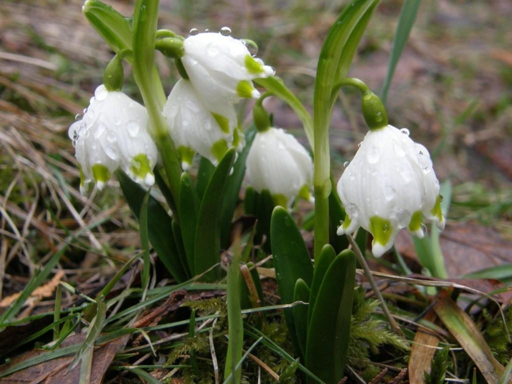 Долина белоцвета